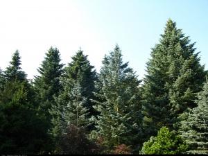 423__Jodła jednobarwna (kalifornijska) ( Abies concolor )