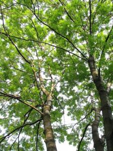Jesion wyniosły-pnie drzew_normal
