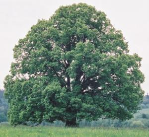 Lipa drobnolistna - drzewo_normal