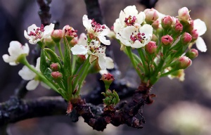 gruszka kwiat