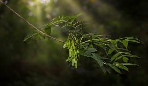 jesion liście