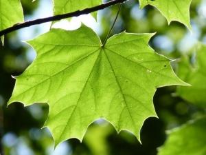 klon liść